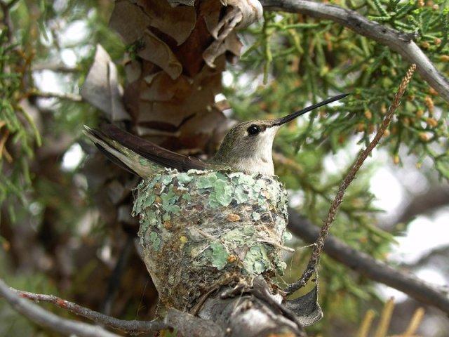 colibrì-golanera
