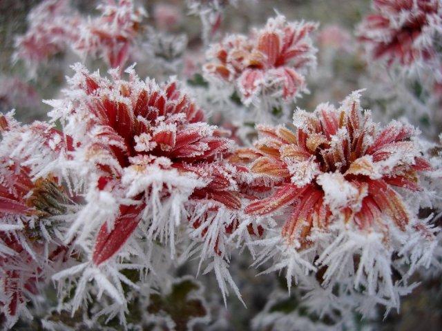 fiori-innevati