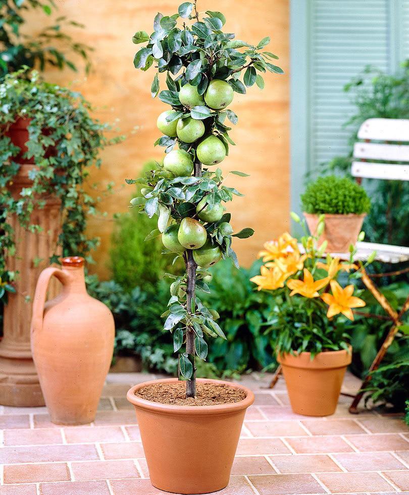 Piante Da Frutto Nane le piante da frutto da terrazzo – creando idee